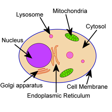 Image result for SIMPLE ANIMAL CELL BIOLOGY LABELLED
